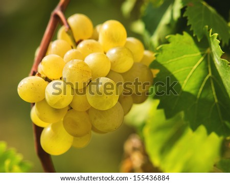 Bunch of ripe white grapes on a vine - stock photo