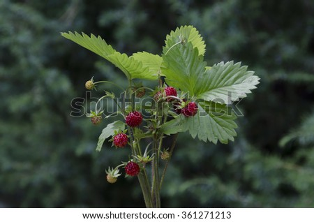 Bunch of ripe wild strawberry fruits, Plana mountain, Bulgaria