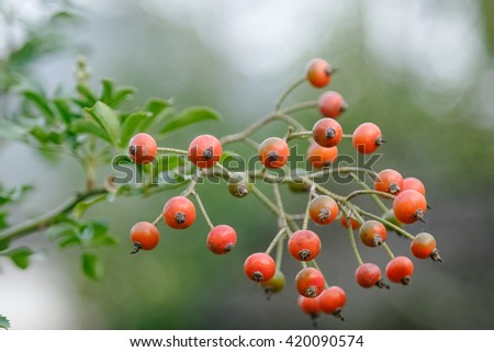 bunch of rose hips, the fruit of the rose bush - stock photo