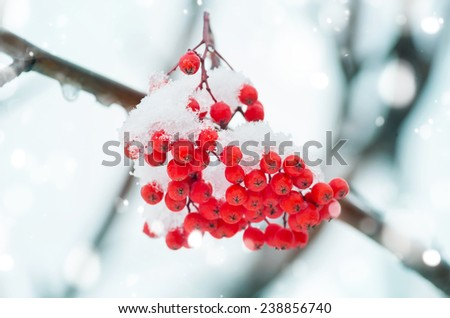 Bunch of rowan in the snow close-up - stock photo