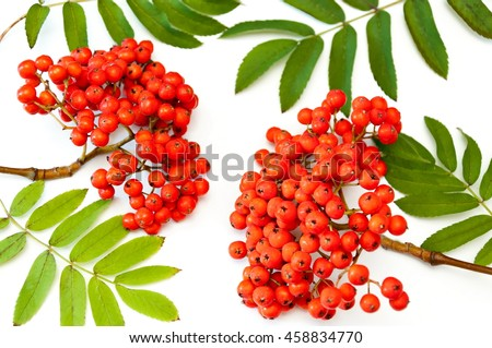 bunch of rowan on white background. Red rowanberry. Rowan berries on a twig with leaves isolated on white - stock photo