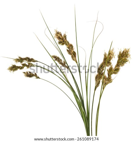 Bunch of SAND SEDGE Carex grass plant (lat. Carex arenaria) (Cyperaceae) Isolated on white background - stock photo