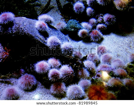 Bunch of Sea Urchins - stock photo