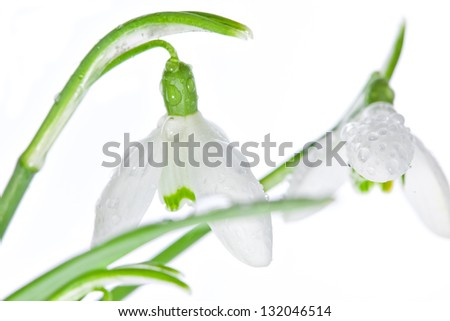 Bunch of snowdrop flowers isolated on white background. Closeup