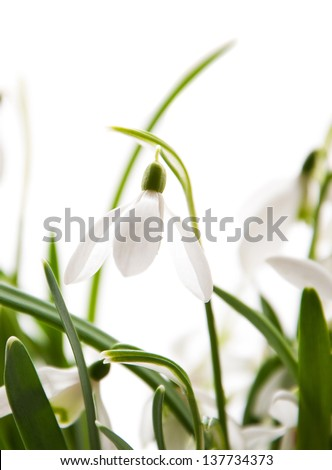 Bunch of spring snowdrop flowers on a white background