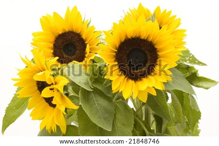 Bunch of sunflowers on white