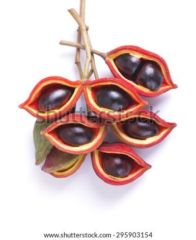 Bunch of sweet chestnuts (Sterculia monosperma) - stock photo