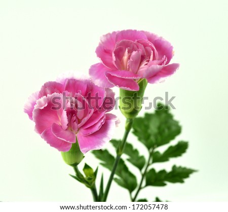 Bunch of Sweet Pink Carnation flowers - stock photo