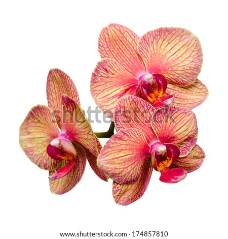 Bunch of three gentle phalaenopsis summer flowers isolate - stock photo