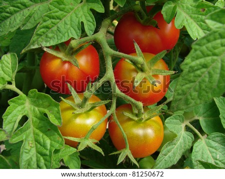 bunch of tomatoes ripening on the branch - stock photo