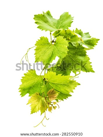 Bunch of vine leaves isolated on white background. Selective focus - stock photo
