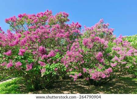 Bunch of violet lilac flower in sunny spring day in front of blue sky - stock photo