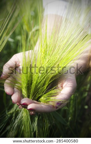 Bunch of wheat in hands closeup - stock photo