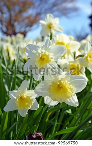Bunch of white and yellow daffodils