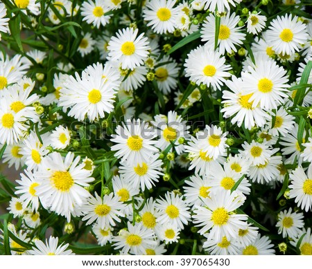 Bunch of white aster flowers; Flowering plant in autumnal garden; - stock photo