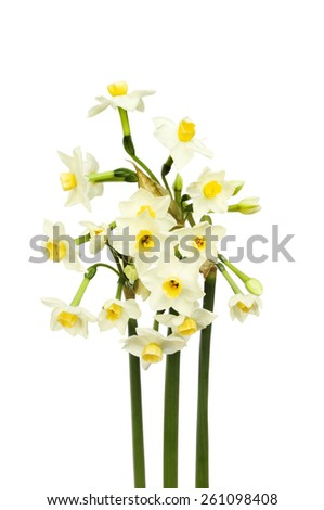 Bunch of white daffodils with yellow centers isolated against white - stock photo