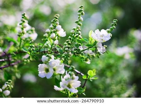 Bunch of white exochorda tianshanica flower with beautiful bokeh - stock photo