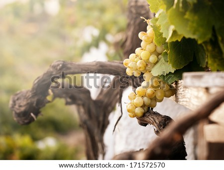 Bunch of white grapes in the vineyard in the Wine Museum of Thira, Santorini, Greece. - stock photo
