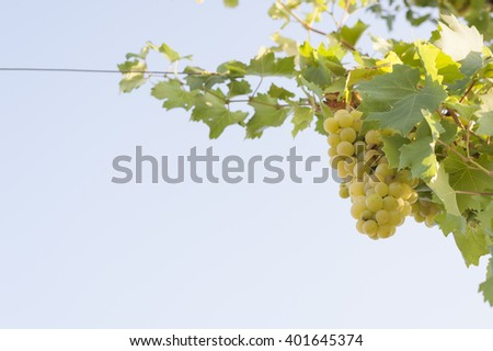 bunch of white grapes on its branch - stock photo
