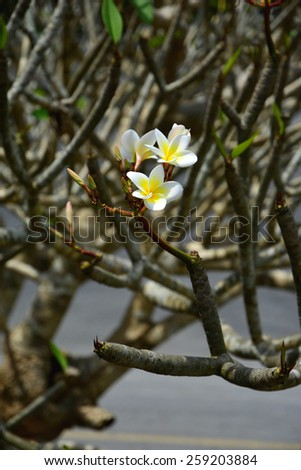 bunch of white plumeria flowers on tree without leaf, DOF - stock photo