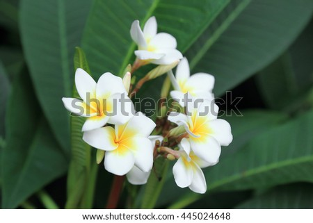 Bunch of white plumeria or Frangipani tropical flowers on green background. - stock photo
