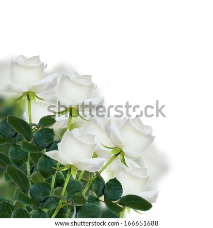 bunch of white rose isolated on white background - stock photo