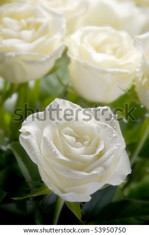 bunch of white roses with one roses in focus and other in blur like a background - stock photo