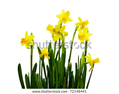 bunch of yellow daffodils isolated on white - stock photo