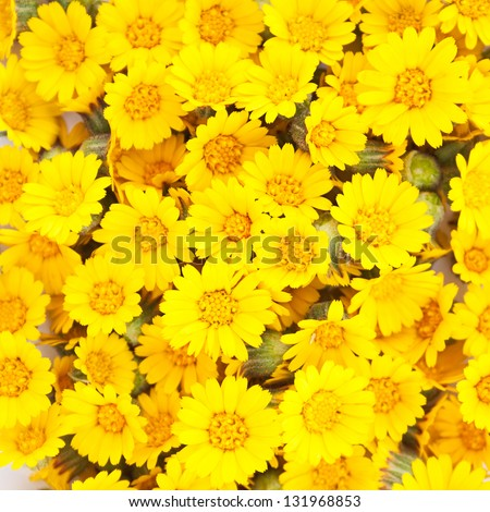 yellow daisy stock images, royaltyfree images  vectors, Beautiful flower