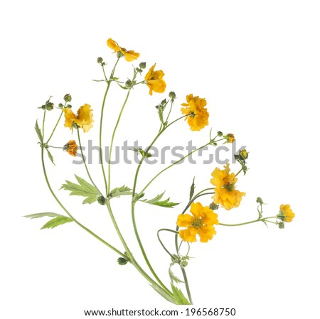 Bunch of yellow flowers, isolated on white background - stock photo