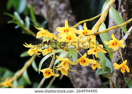 Bunch of YelloW Honey fragrant orchid ( Dendrobium lindleyi Steud) on large tree in natural forest; against natural sunlight - stock photo