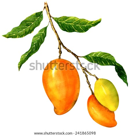Bunch of yellow mangoes, isolated on white background - stock photo