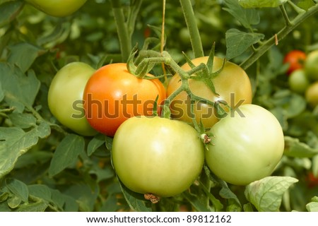 Bunch with big green and red tomatoes growing in the greenhouse