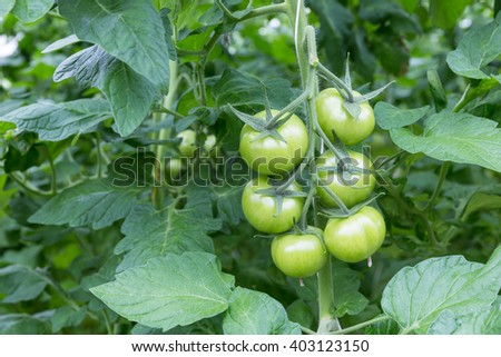 Bunch with green tomatoes growing in a greenhouse