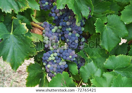 bunches of blue grapes in Vineyard in the Barossa Valley - stock photo