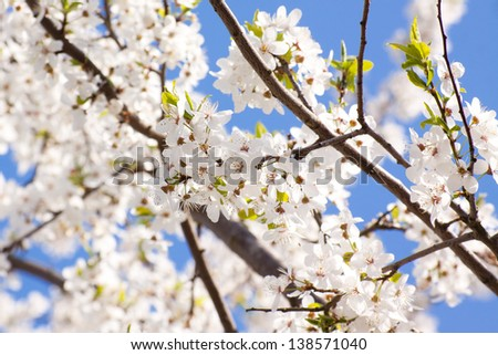 Bunches of cherry blossom with white flowers against the blue sky - stock photo