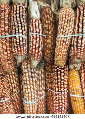 Bunches of colorful raw corn used for Halloween decoration.
