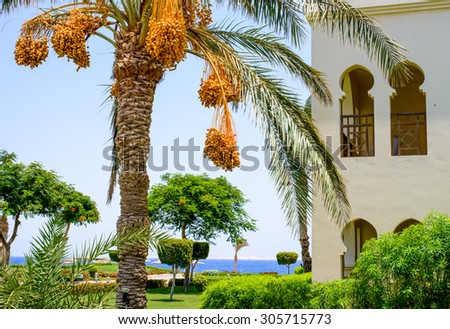 Bunches of dates hanging from a palm tree alongside a luxury villa or hotel overlooking a tropical ocean