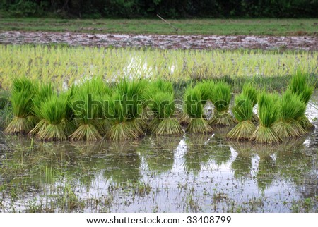 Bunches of freshly harvested rice, grouped in a field. The cultivation of rice is one of the major economic resources in Laos. - stock photo