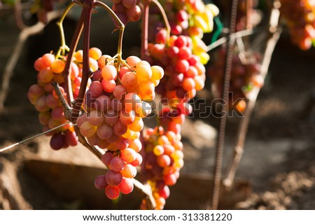 Bunches of grapes hanging on the wine - stock photo