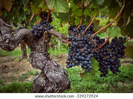 Bunches of grapes hanging on vine at vineyard in Bordeaux France - stock photo