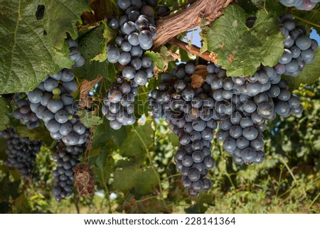 Bunches of grapes on vine