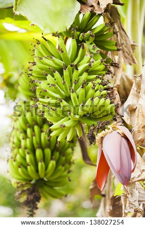 Bunches of green bananas growing on a plantation in Costa Rica. - stock photo