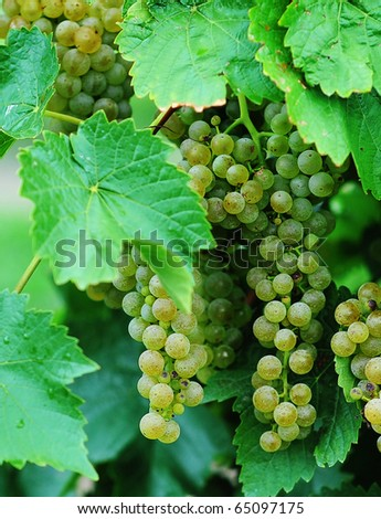Bunches of green grapes hanging from vines - stock photo