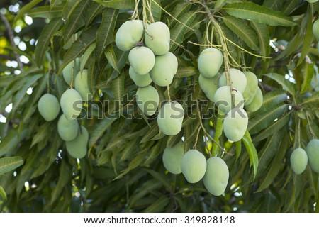 bunches of green unripe Mangifera mango fruits hanging from lush tree - stock photo