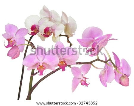 bunches of pink orchids