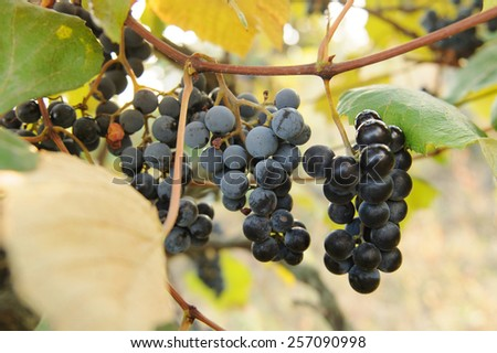 bunches of red grape among leaves - stock photo