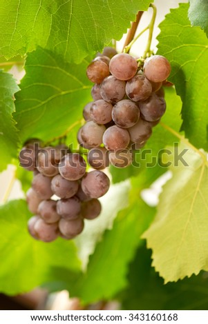 Bunches of red grapes on grapevine over vineyard. Selective focus. - stock photo