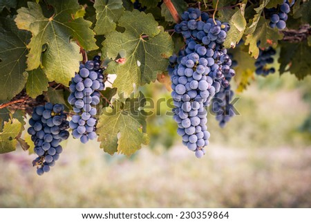 Bunches of red wine grapes on vine - stock photo