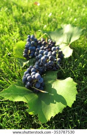"Bunches of ripe grapes of the hybrid Vitis ""Izabella"" (Vitis labrusca x Vitis vinifera) on its leaves in the sunny autumn garden - stock photo"